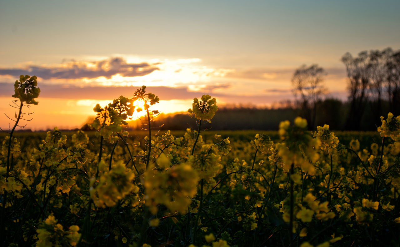 Photo: Rapeseed Blossoms
