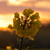 0062_rapeseed_blossoms